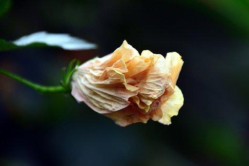 Hibiscus, Blossom, Bloom, White, Yellow, Beautiful