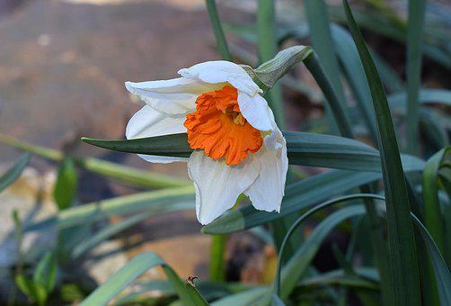 Narcissus, Daffodil, Flower, Blossom, Bloom, Bulb