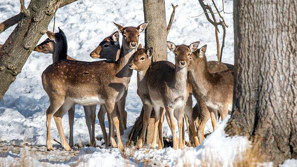Fallow Deer, Animal, Dama Dama, Mammal, Trees