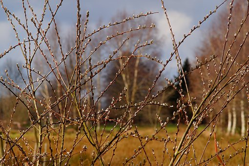 Spring, Willow Catkin, Pasture, Fluffy, Nature, Bush