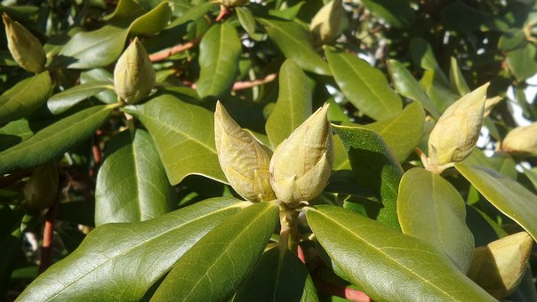 Rhododendron, Bud, Closed, Garden, Ericaceae
