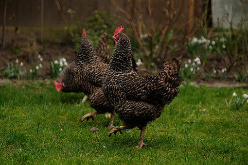 Three Chickens, Chicken, Out, Poultry, Garden, Land