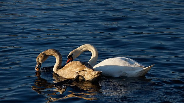 Swan, Lake, Food, Bread, Eating, Swallowing, Feeding