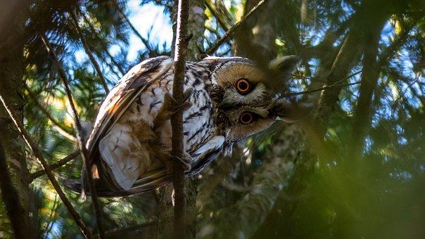 Long-eared Owl, Owl, Bird, Wildlife, Nature, Eyes