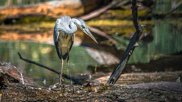 Heron, Bird, Beak, Nature, Wings, Water, Fishing