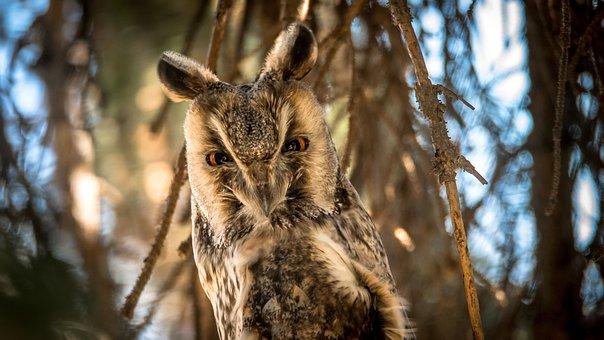 Owl, Bird, Nature, Predator, Night Bird, Beak, Forest