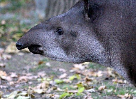 Lowland Tapir, Tapirus Terrestris, Tapir, Ovis