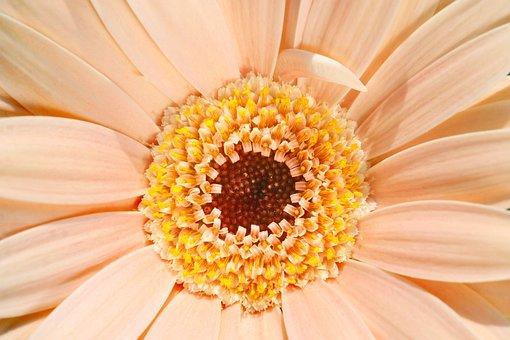 Pale, Peach, Pastel, Gerbera, Daisy, Aster, Asteraceae