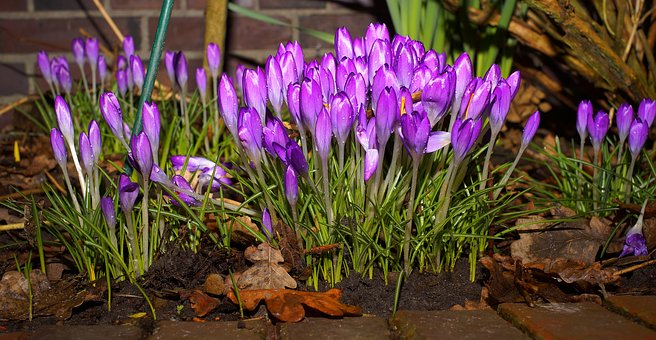 Crocus, Flowers, Beginning Of March, Purple
