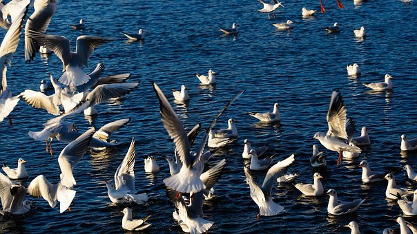 Birds, Flight, Wild, Seagull, Lake, Winter, Hungry