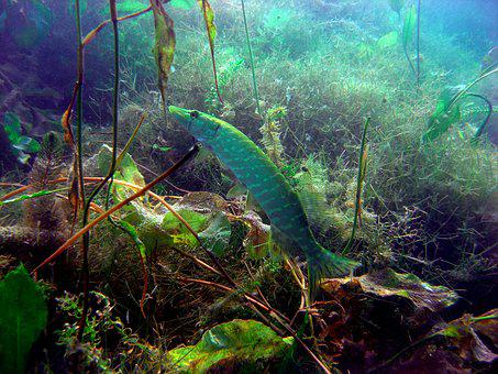 Pike, Diving, Underwater Photo