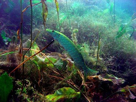 Pike, Diving, Underwater Photo