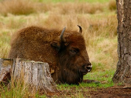 Bison, Vacation, Dream, Animal, The Horn Of Africa
