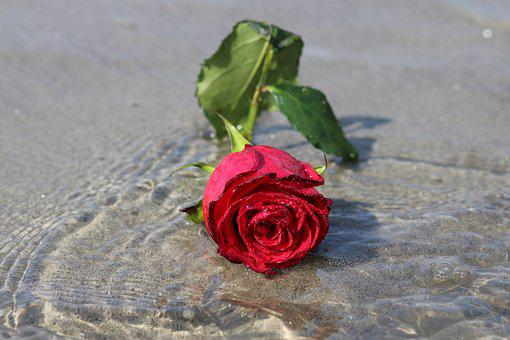 Rose, Water, Flower, Reflection, Red