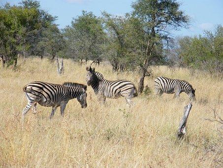 Zebra, Krugar, Africa, Animal, Tourism, Wildlife