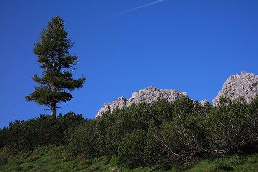 Pine, Conifer, Tree, Mountain, Allgäu, Mountain Tree