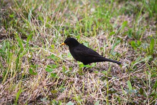 Bird, Merle, Fauna, Nature, Animals, Black, Animal
