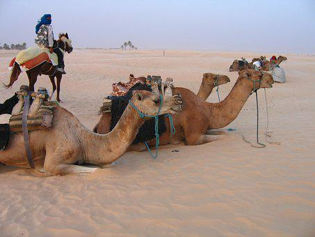 Camels, Animals, Desert, Africa, Tunisia, Holidays