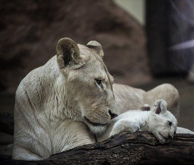 Lion, White Lion, Lioness, Big Cat, Mane, Eyes, Nature