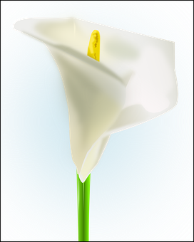 Calla Lily, White, Flower, Blooming, Blossom, Floral