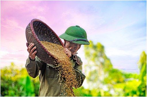Grain Drying, D Rice, Farmer
