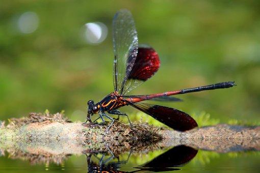 Odonata, Euphaeidae, Euphaea Formosa Hagen