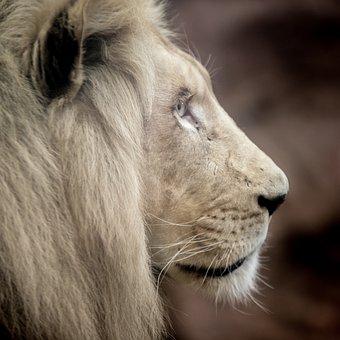 Lion, White Lion, Big Cat, Mane, Eyes, Nature