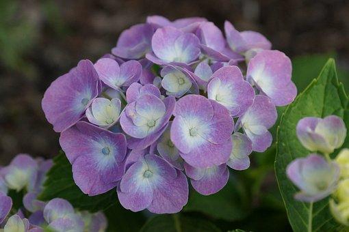 Flower, Garden, Summer, A Garden Plant, Beauty, Nature
