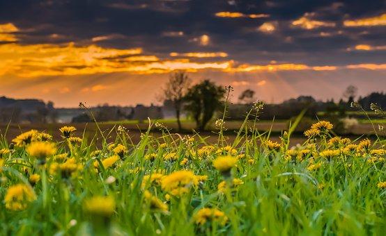 Summer, Dandelion, Nature, Flower, Yellow, Meadow