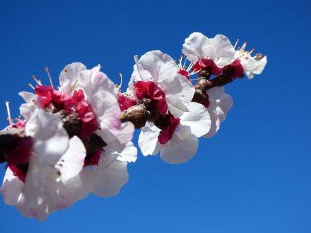 Flowery Branch, Flowers, Apricot, Florir, Spring