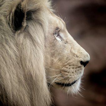 Lion, White Lion, Big Cat, Mane, Eyes, Nature