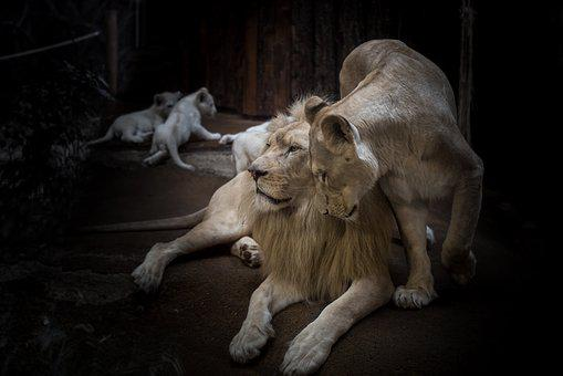 Lion, Lioness, White Lion, Big Cat, Mane, Eyes, Nature