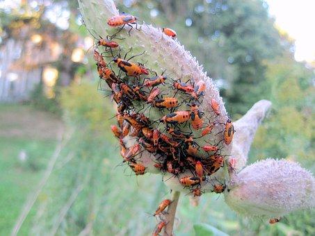 Oncopeltus Fasciatus, Milkweed Insect, Milkweed, Insect
