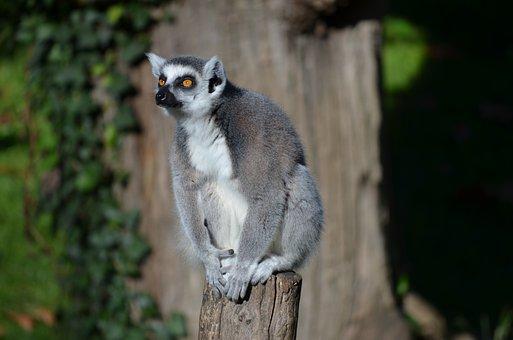 Ring Tailed Lemur, Lemur, Zoo, Animal, Monkey