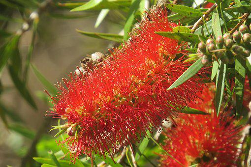 Callistemon, Bottlebrush, Native Trees, Natural, Trees
