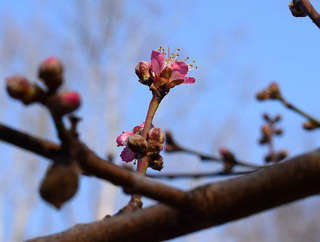 Peach Blossom Bud Open, Peach Tree, Bud, Blossom