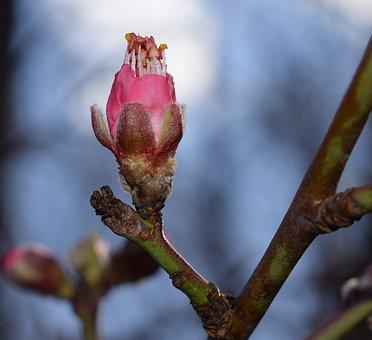 Peach Blossom Bud Opening, Peach Tree, Bud, Blossom
