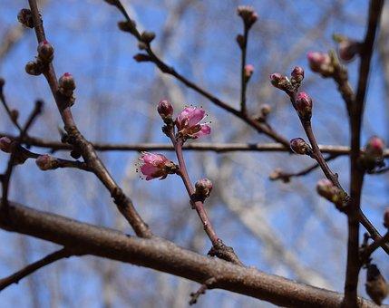 Peach Blossom Buds Opening, Peach Tree, Bud, Blossom