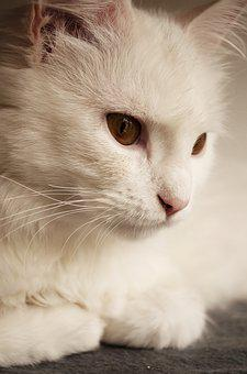 White, Persian, Fur, Breed, Mammal, Sitting, Pedigreed