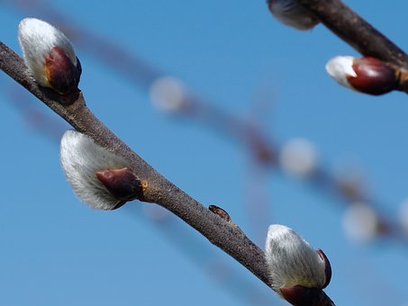 Willow Catkin, Fluffy, Nature, Spring, Close Up, Hairy