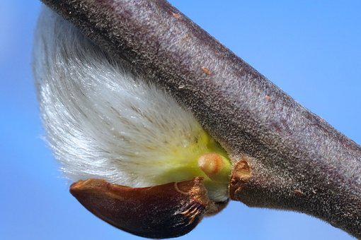Willow Catkin, Harbinger Of Spring, Spring, Plant