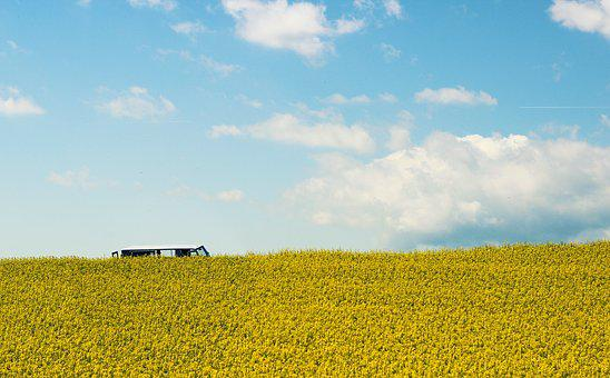 Field Of Rapeseeds, Oilseed Rape, Summer, Yellow