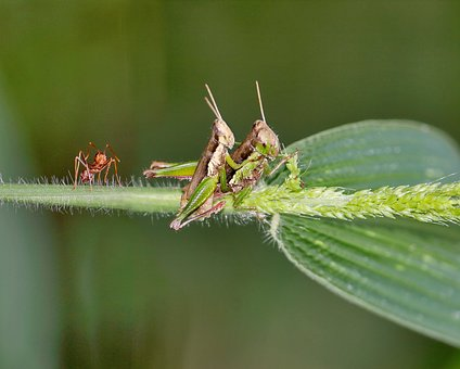 Mating, Grasshopper, Ants, Kerengga