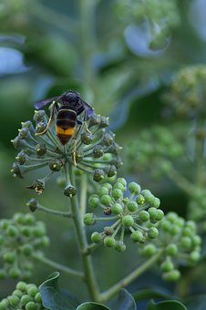 Asian Hornet, Invasive Species, Insect