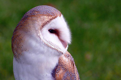 Bird, Barn Owl, Owl, Barn, Animal, Wildlife, White