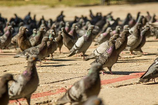 Pigeons, Permian, Birds, Summer, Area