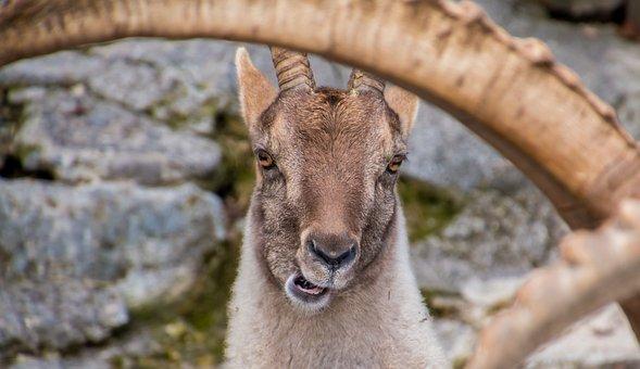 Capricorn, Goats, Bock, Horned, Billy Goat, Horns