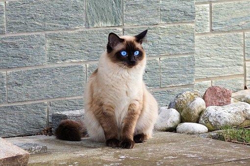 Cat, Siamese Cat, Fur, Kitten, Breed Cat, Mieze