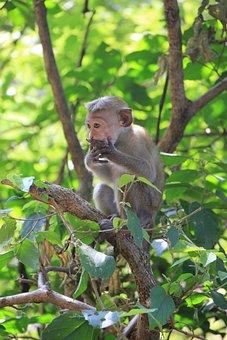 Monkey, Makake, Cute, Animal, Primate, Nature, äffchen