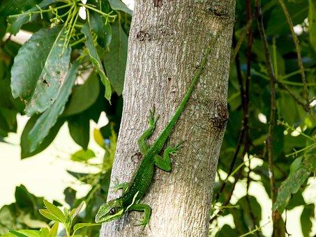 Cuban Knight Anole, Green, Lizard, Exotic, Creature